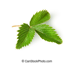 Wild strawberry leaf top view rotated