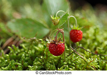 Wild strawberry on a background of moss.