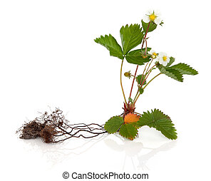 Wild Strawberry Plant - Wild strawberry plant with root...