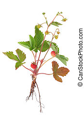 Wild Strawberry Plant - Wild strawberry plant with fruit and...