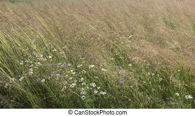 wild summer meadow grass and flowers in wind