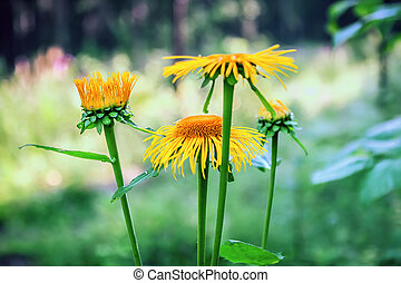 Wild Sunflowers In Bloom