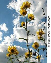 Wild Sunflowers - Sunflowers against the sky.