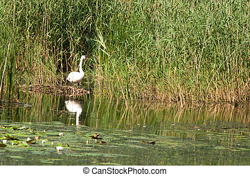 swan in reeds on the pond