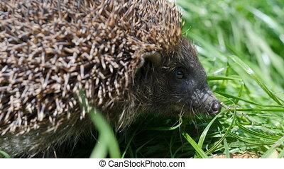 Wild sweet hedgehog in nature background. Natural light....
