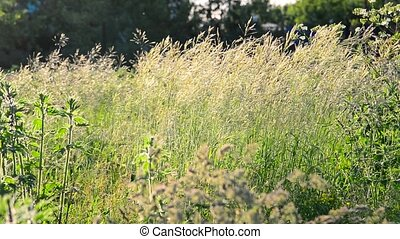 Wild tall grass swaying in wind - wild tall grass swaying in...