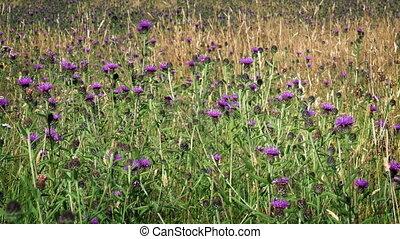 Wild Thistle Flowers In Meadow - Pink flowers in wild field...