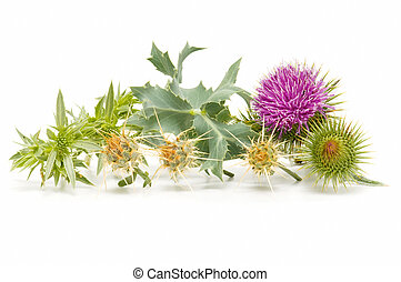 wild thistle on a white background