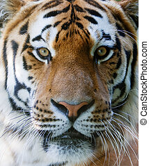 Wild tiger face - Wilt tiger with yellow and black stripes ...