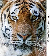 wild, tiger, gesicht