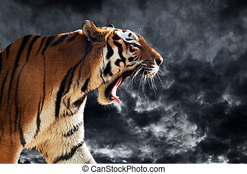 Wild tiger roaring on clouds background