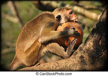 Wild toque macaque biting