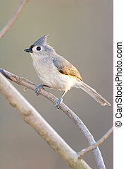 Wild Tufted Titmouse Perched on Branch
