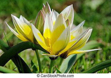 wild tulip 04