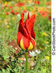 wild tulip like flames of bonfire