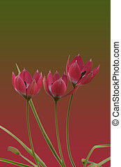 Wild tulip