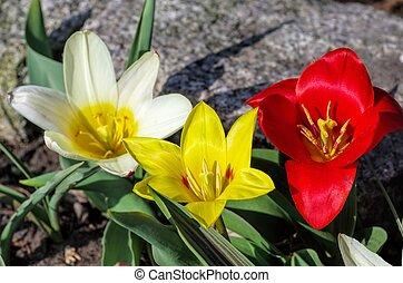 wild tulip Tulipa kaufmanniana
