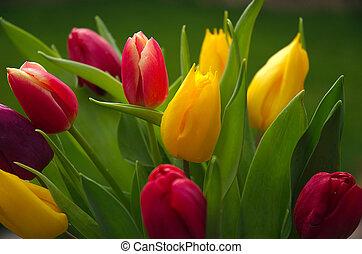 Wild tulips in backlight