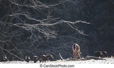 Wild Turkey and White-tailed Deer feeding