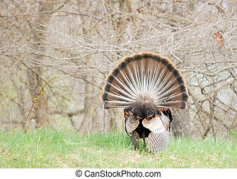 Wild Turkey - Strutting male wild turkey displaying in the...