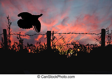Wild Turkey Takeing Flight over a barbed wire fence against a spectacular sunset.