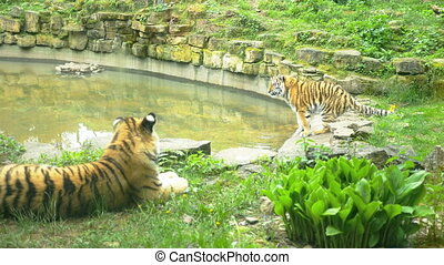 Wild two tigers in nature
