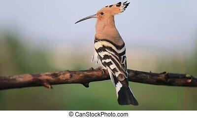 wild unusual bird sings sitting on a branch, wildlife, bird...