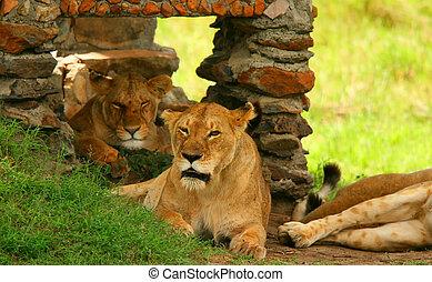 wild, verticaal, leeuw