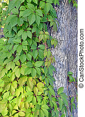Wild vine leaves on tree trunk in the wood