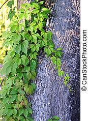 Wild vine leaves on tree trunk