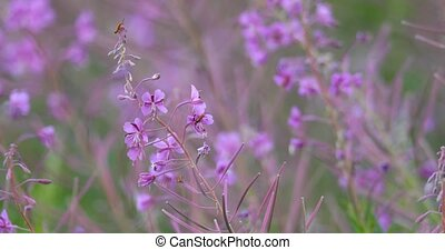 wild violet flower on meadow in spring breeze - wild violet...