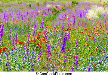 wild violet flowers and red poppies in a summer flowering field on a sunny day