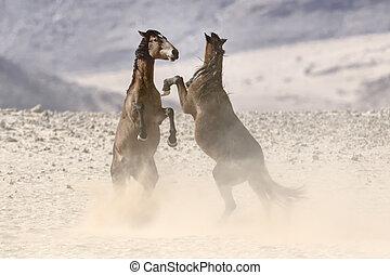 wild, wüste, pferden, kämpfen