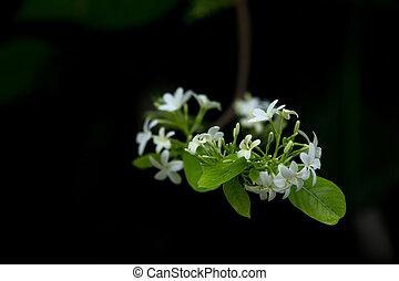 wild water plum flower