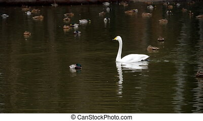 Wild waterfowl on the pond - The flock of ducks and white...
