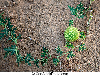 Wild watermelons in the desert.