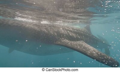 Wild whale shark swimming among snorkelers and eating plankton in transparent sea water. Whale shark swimming in ocean and eating feed. Underwter view wild sea animal. Marine inhabitants