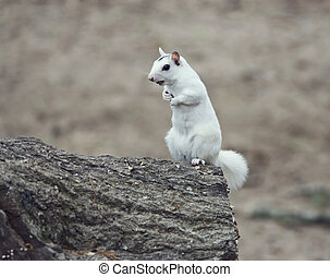 wild white albino squirrel on a tree