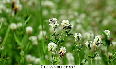 Wild white clover - A close view of a wild white clover on a...