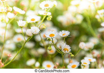 white daisies in a field