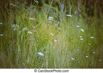 Wild white daisies in a field in summer