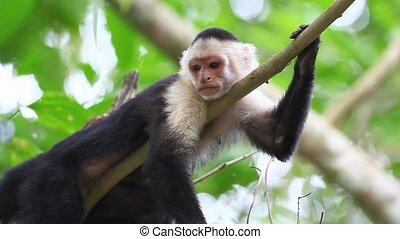 Wild White-faced Capuchin (Cebus capucinus) relaxs and...