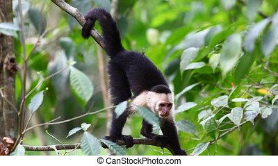Wild White-faced Capuchin (Cebus capucinus) monkey eating -...