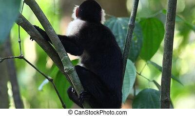 Wild White-faced Capuchin (Cebus capucinus) monkey peers...