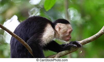 Wild White-faced Capuchin (Cebus capucinus) monkey eating...