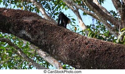 Wild White-faced Capuchin monkeys walking along a huge...
