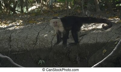 Wild White Faced Monkey in a Costa Rica rainforest. Slow...