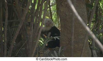 Wild White Faced Monkey in a Costa Rica rainforest.