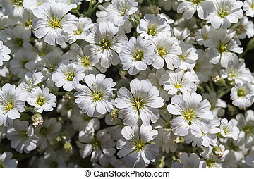 Wild white flowers on a field on a sunny day.