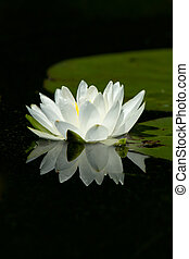 Wild White Lily Pad Flower With Flower's Reflection In Calm Water. Lily Pads Are In The Background.